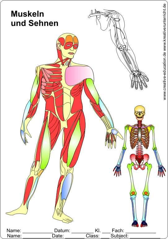 Muskeln und Sehnen - Der Körper des Menschen